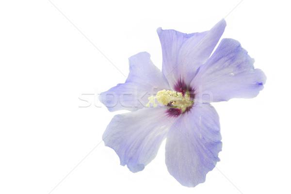 Kék hibiszkusz virág fehér terv kert Stock fotó © haraldmuc
