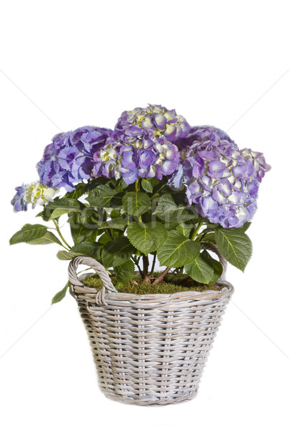 Purple Hydrangea flower in a pot Stock photo © haraldmuc