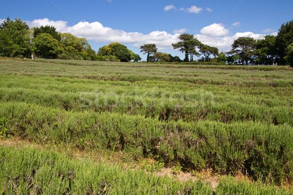 Levendula gazdálkodás csatorna szigetek olaj növények Stock fotó © haraldmuc