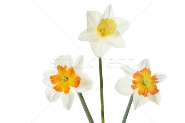 Daffodils (Narcissus pseudonarcissus)  Stock photo © haraldmuc