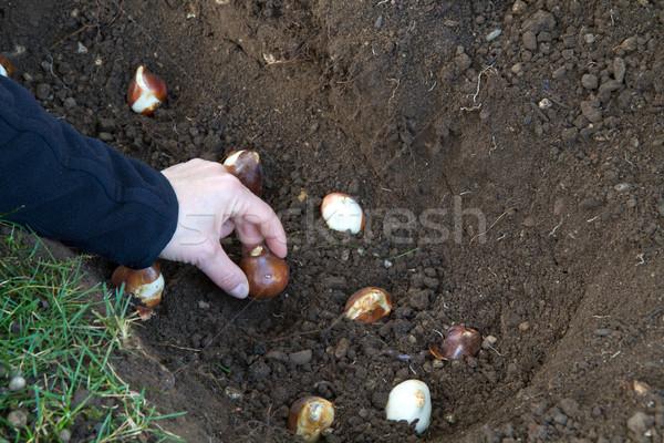 Planting tulip bulbs in the garden Stock photo © haraldmuc