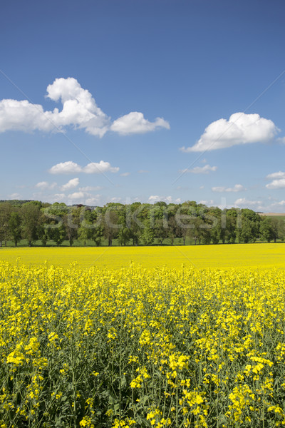 Blooming rapeseed field Stock photo © haraldmuc