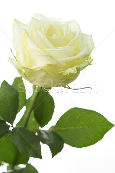 Kremowy biały kwiat wiosną charakter Zdjęcia stock © haraldmuc
