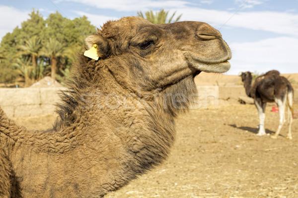 Dromedar portrait, Morocco, North Africa Stock photo © haraldmuc