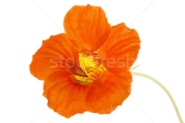 Orange fleur isolé blanche design fond Photo stock © haraldmuc