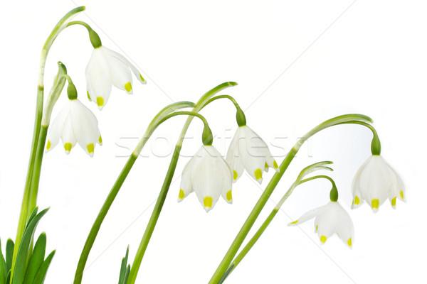 Spring snowflake (Leucojum vernum) Stock photo © haraldmuc