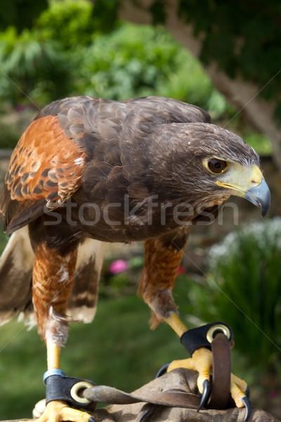 Falcon (Falco) Stock photo © haraldmuc