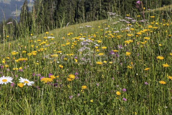 Flores silvestres alpes textura primavera hierba fondo Foto stock © haraldmuc