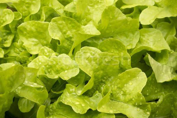 Taze salata küçük su damlası su gıda Stok fotoğraf © haraldmuc