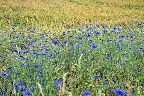 Stock photo: Cornflowers in Bavaria, Germany