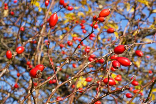 Rose hips Stock photo © Harlekino