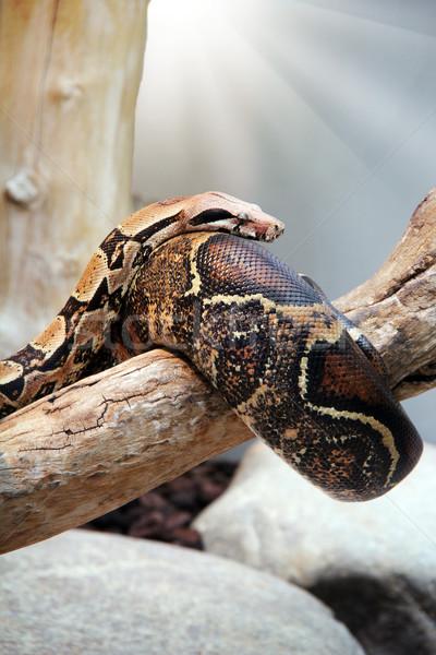 Yılan büyük yaşayan doku göz Stok fotoğraf © Hasenonkel