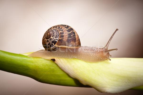 snail crawling flower Stock photo © hayaship