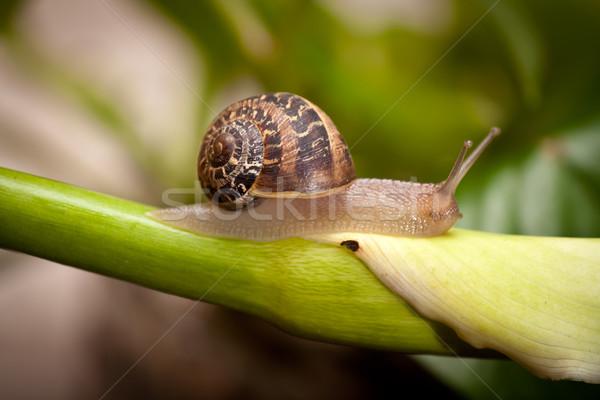 Kicsi csiga kúszás közelkép kert növény Stock fotó © hayaship