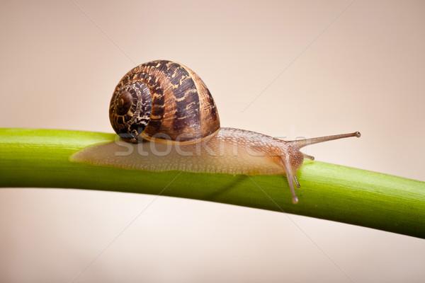 garden snail crawling on green stem Stock photo © hayaship