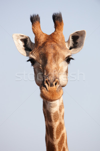 Single giraffe (Giraffa camelopardalis) Stock photo © hedrus