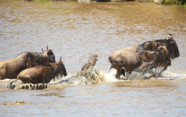 Stock photo: Crocodiles (Crocodylus niloticus) trying to grab Bluewildebeest