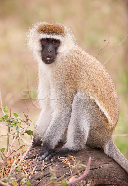 Сток-фото: обезьяны · сидят · дерево · ЮАР · волос · черный