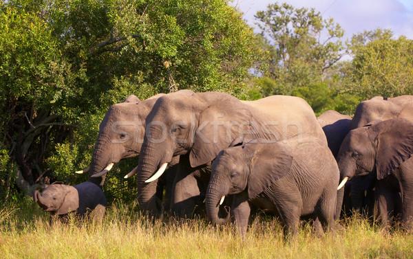 Nagy nyáj elefántok sétál szavanna természet Stock fotó © hedrus