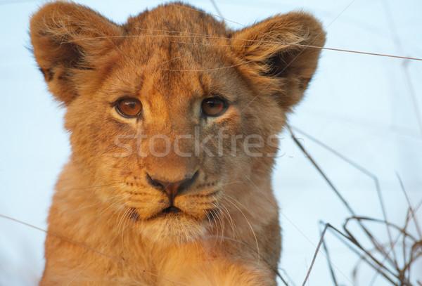 Aslan oturma Güney Afrika Stok fotoğraf © hedrus