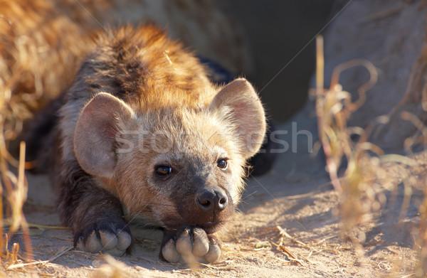 Baba föld Dél-Afrika Afrika természetes vadászat Stock fotó © hedrus