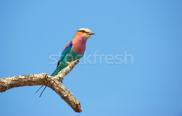 Lilac-breasted Roller Stock photo © hedrus
