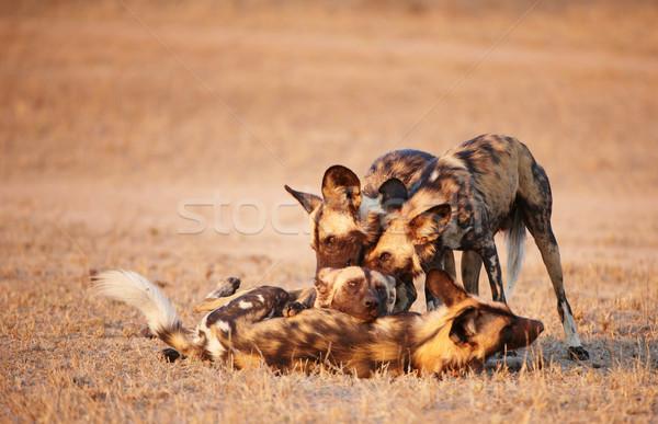 африканских собаки группа Вымирающие виды Сток-фото © hedrus