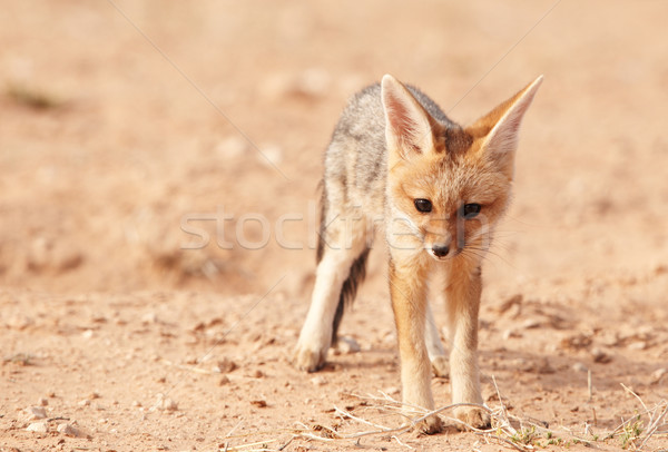 Alert Black-backed Jackal (Canis mesomelas) Stock photo © hedrus