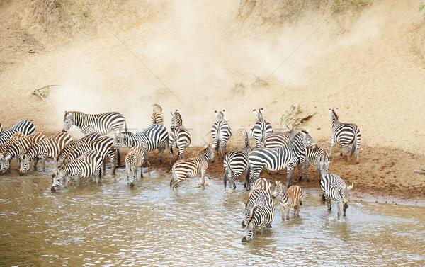 Troupeau zèbres africaine potable rivière nature Photo stock © hedrus