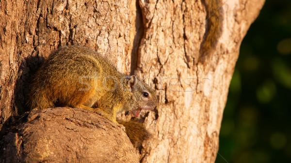 Ağaç sincap bir Güney Afrika orman gözler Stok fotoğraf © hedrus