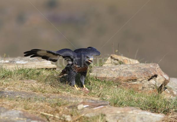 Urubu caminhada rochas África do Sul olhando agressivo Foto stock © hedrus