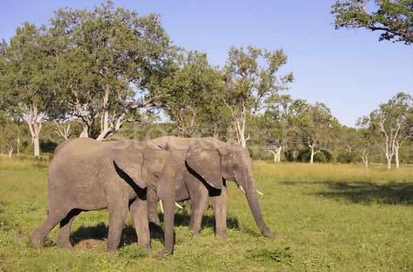 Two large elephants Stock photo © hedrus