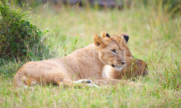 Two Lion cubs (panthera leo) in savannah Stock photo © hedrus
