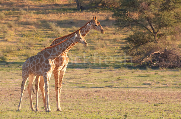 Two giraffe (Giraffa camelopardalis) Stock photo © hedrus