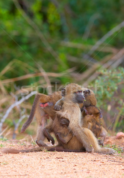 Pávián út Dél-Afrika természet anya majom Stock fotó © hedrus
