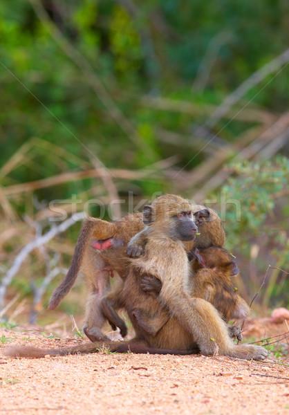 бабуин дороги ЮАР природы матери обезьяны Сток-фото © hedrus