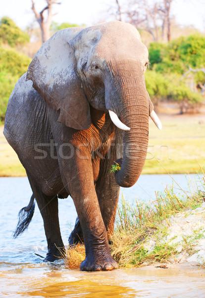 большой Африканский слон бык африканских Слоны ходьбе Сток-фото © hedrus