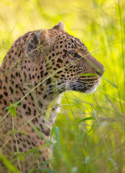 Leopar doğa rezerv Güney Afrika Stok fotoğraf © hedrus