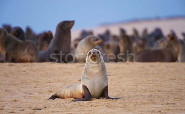 Group of sea lions on the beach Stock photo © hedrus