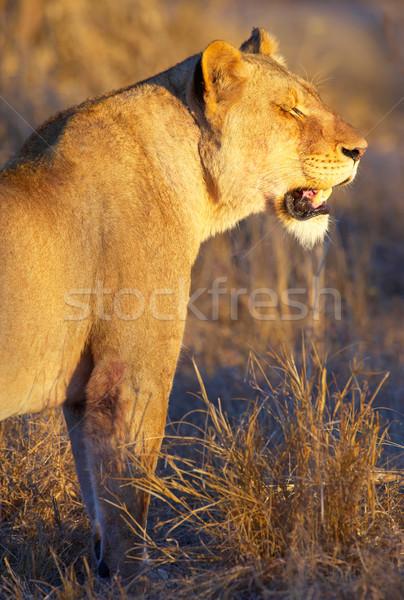 Stok fotoğraf: Ayakta · Güney · Afrika · gün · batımı · gözler · doğa