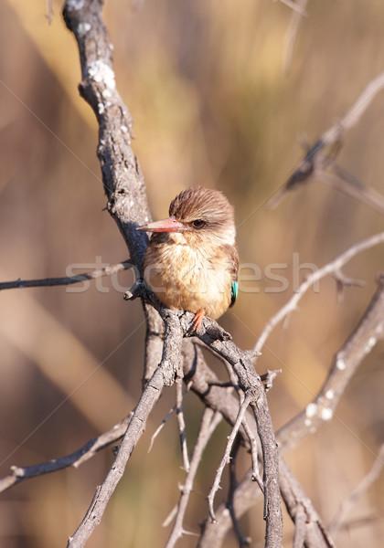 Yalıçapkını oturma şube Güney Afrika doğa kuş Stok fotoğraf © hedrus