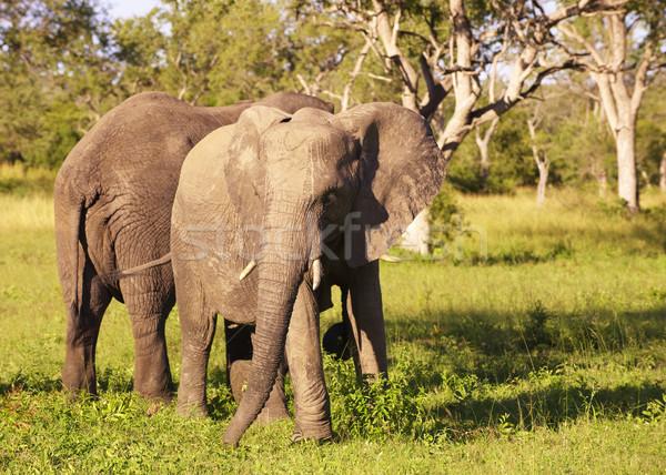 Nagy elefánt kettő áll természet tartalék Stock fotó © hedrus