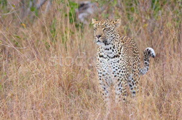 Leopard standing alert in savannah Stock photo © hedrus