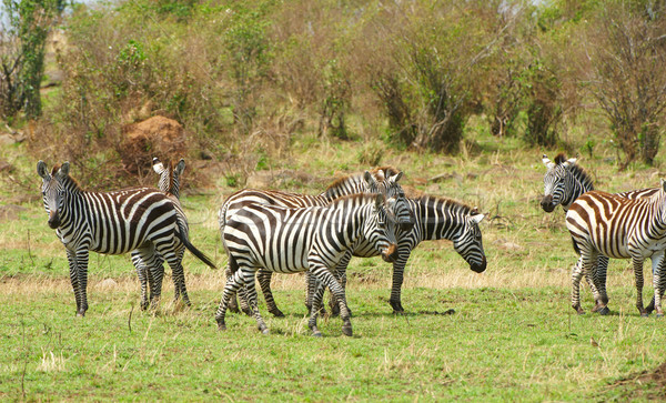 Herd of zebras (African Equids)  Stock photo © hedrus