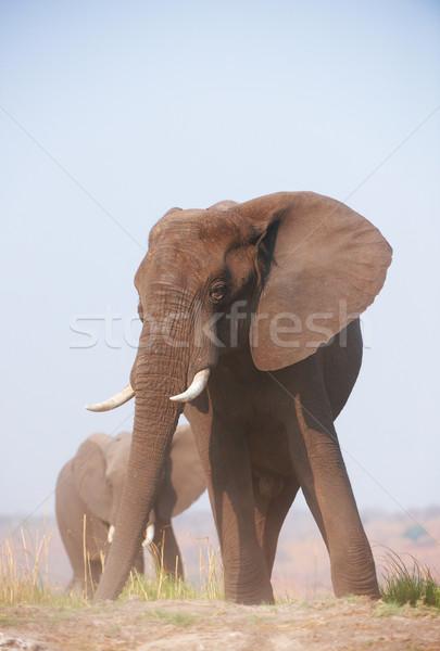 Büyük afrika fil boğa Afrika filler yeme Stok fotoğraf © hedrus