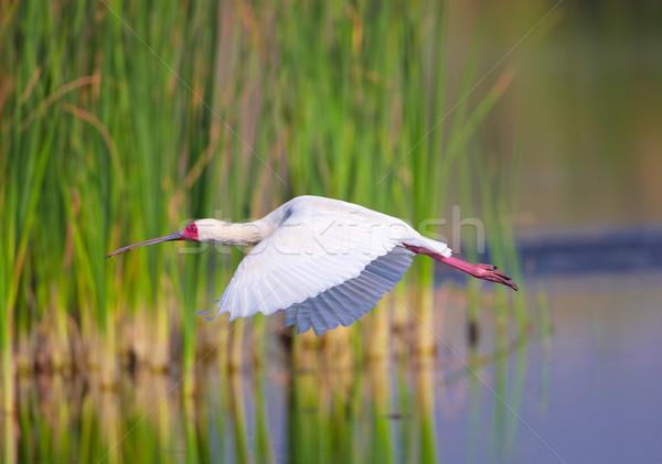 Afrika uçan su Güney Afrika çim kuş Stok fotoğraf © hedrus