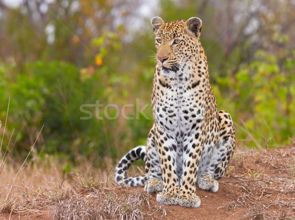 Leopard sitting in savannah Stock photo © hedrus