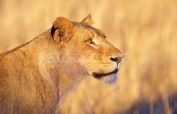 Lioness (panthera leo) close-up Stock photo © hedrus