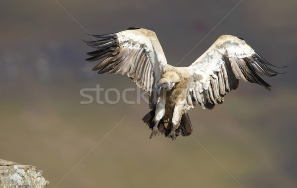 The Cape Griffon or Cape Vulture Stock photo © hedrus