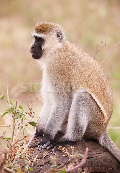 обезьяны ЮАР сидят дерево черный мех Сток-фото © hedrus
